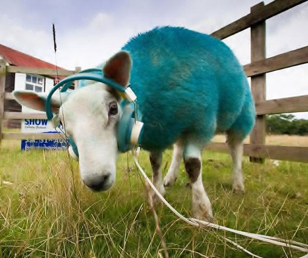 A blue sheep wearing headphones (yes, really!)